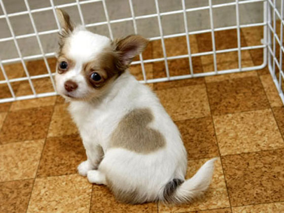Japanese chihuahua with heart shape mark