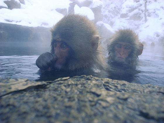 Snow monkeys in Jigokudani